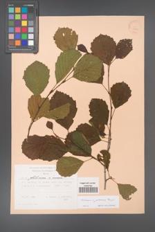 Alnus ×pubescens [KOR 22847]