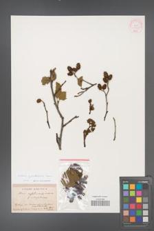 Alnus ×pubescens [KOR 11587]