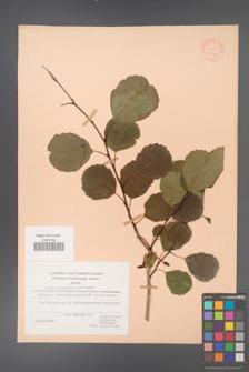 Alnus glutinosa [KOR 20946]