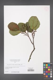 Alnus glutinosa [KOR 53842]