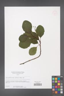 Alnus glutinosa [KOR 53833]
