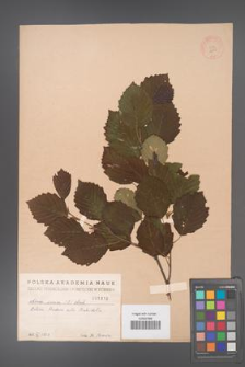 Alnus incana [KOR 1810]