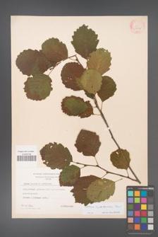 Alnus ×pubescens [KOR 4932]