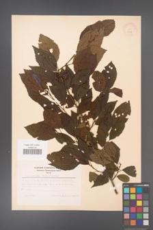 Alnus japonica [KOR 11688]