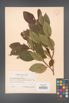 Alnus japonica [KOR 44068]