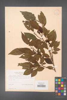 Alnus japonica [KOR 11685]
