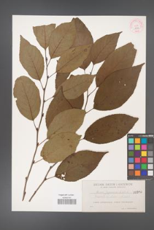 Alnus japonica [KOR 398a]