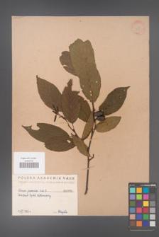 Alnus japonica [KOR 389]