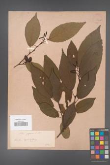 Alnus japonica [KOR 33725a]