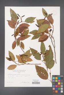 Alnus japonica [KOR 47500]