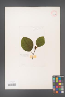 Alnus fruticosa [KOR 11577a]