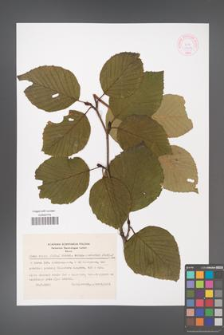 Alnus crispa [KOR 44074]