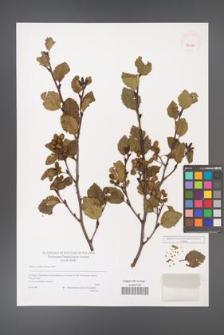 Alnus viridis [KOR 40025]