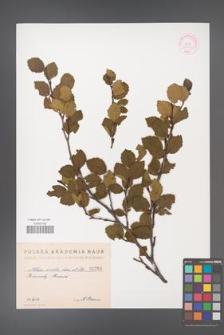 Alnus viridis [KOR 1260]