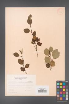 Alnus viridis [KOR 3678]