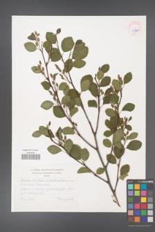Alnus viridis [KOR 45338]