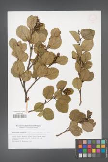 Alnus viridis [KOR 53029]