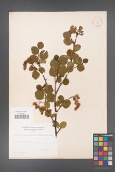 Alnus viridis [KOR 11635]
