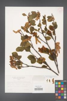 Alnus viridis [KOR 11627]