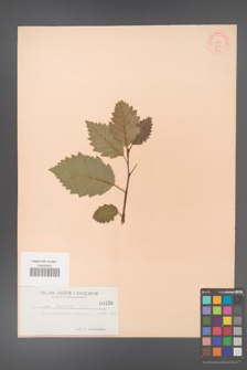 Alnus tenuifolia [KOR 426]