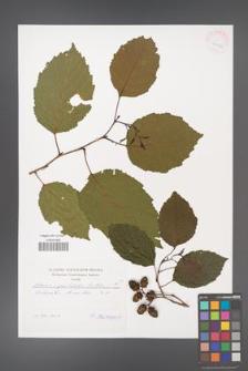 Alnus ×spectabilis [KOR 41976]