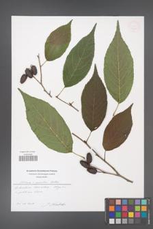Alnus ×spaethii [KOR 54000]