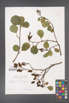 Alnus ×silesiaca [KOR 47499]