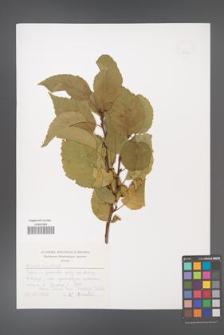 Alnus orientalis [KOR 49553]