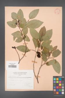 Alnus orientalis [KOR 30050a]