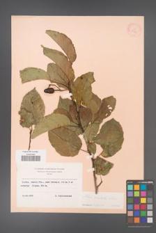 Alnus orientalis [KOR 11714]