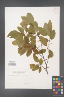 Alnus orientalis [KOR 25096]