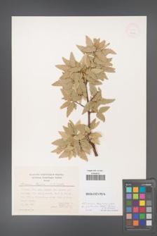 Quercus trojana [KOR 25094]