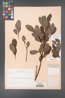 Salix rizeensis [KOR 19660]