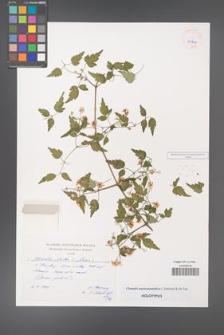Clematis austroanatolica [KOR 40206]