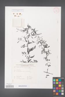 Lycium anatolicum [KOR 27859]