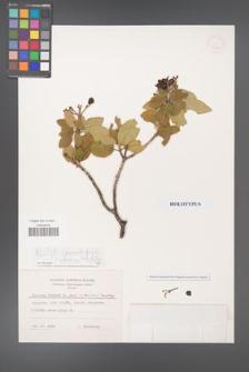 Viburnum lantana [KOR 20616]