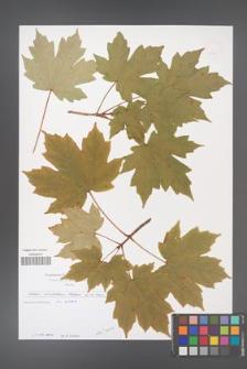 Acer diabolicum [KOR 49694]