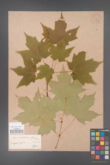 Acer diabolicum [KOR 33662]