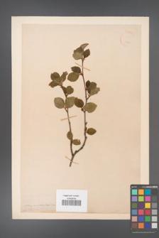 Alnus viridis [KOR 11572]