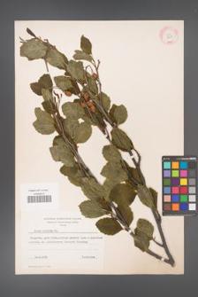 Alnus viridis [KOR 11632]