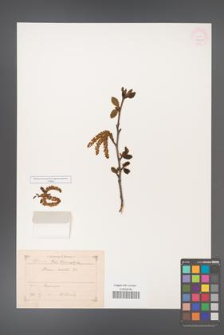 Alnus viridis [KOR 11631]