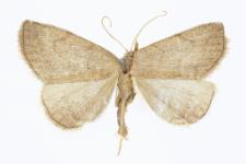 Herminia tarsipennalis