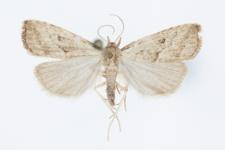 Hypenodes humidalis