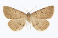 Schrankia zelleralis