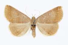 Zaclognatha lunalis