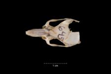 Acomys cahirhinus