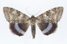 Catocala fraxini