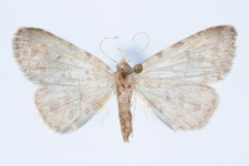 Orectis proboscidata