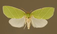 Bena bicolorana (Fuessly, 1775)