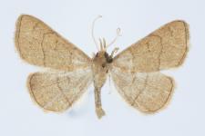 Paracolax tristalis